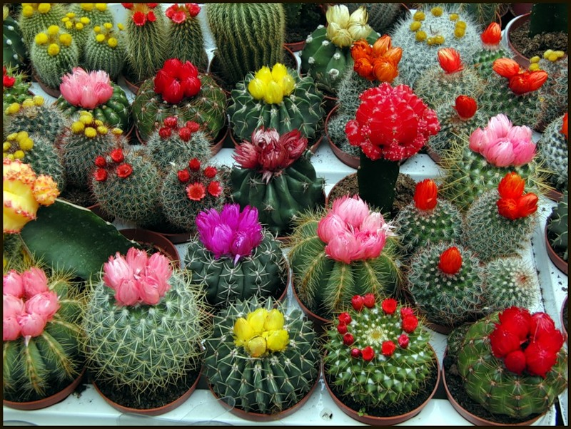 Monaco cactus expo 2015