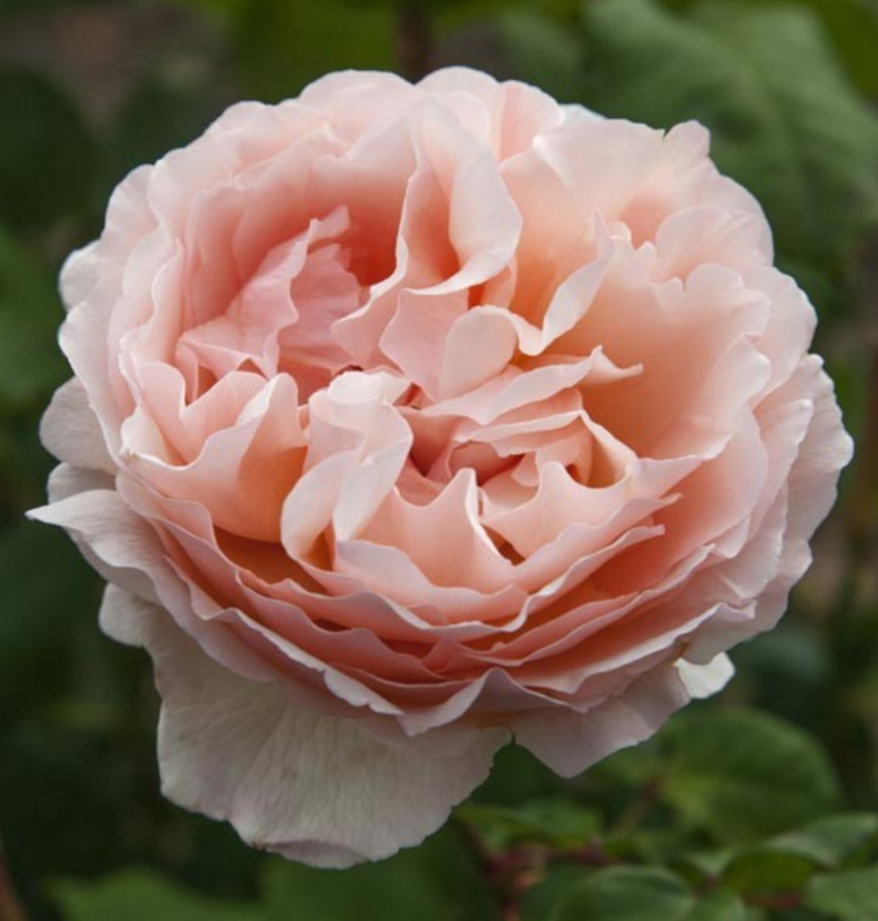 "Роза ""Принцесса Шарлен"""