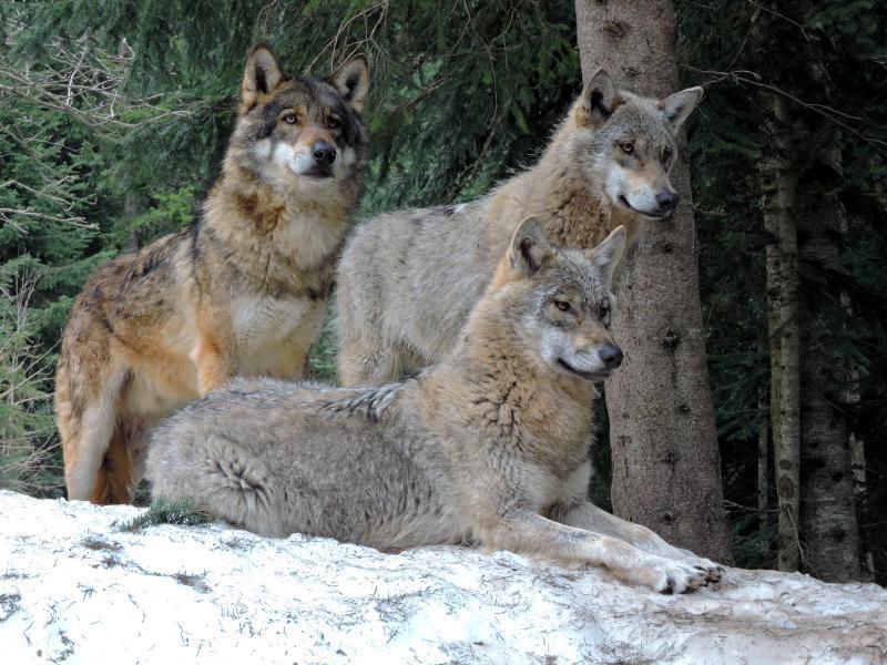 Волки в Экзотическом саду