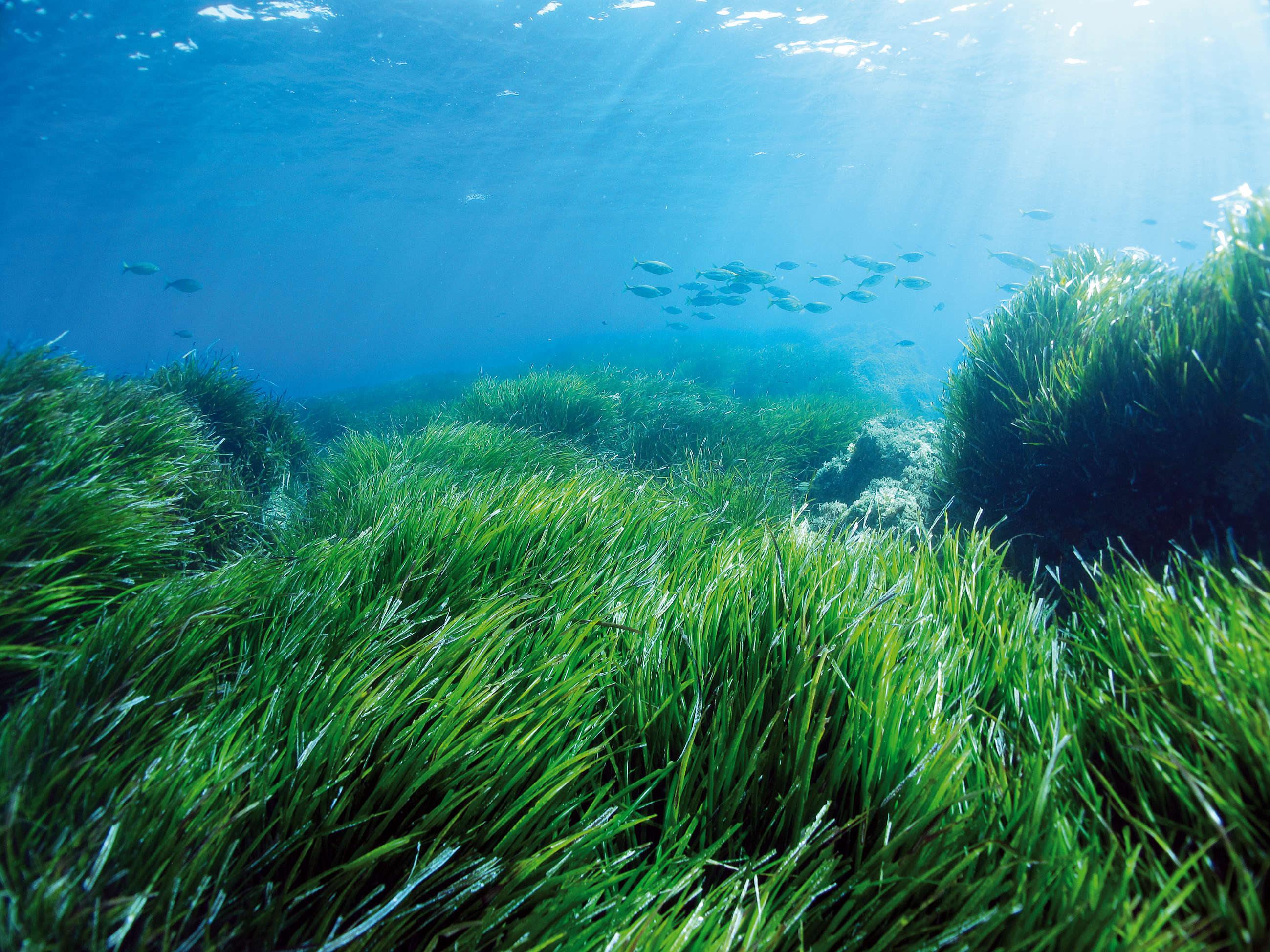 океаническая посидония
