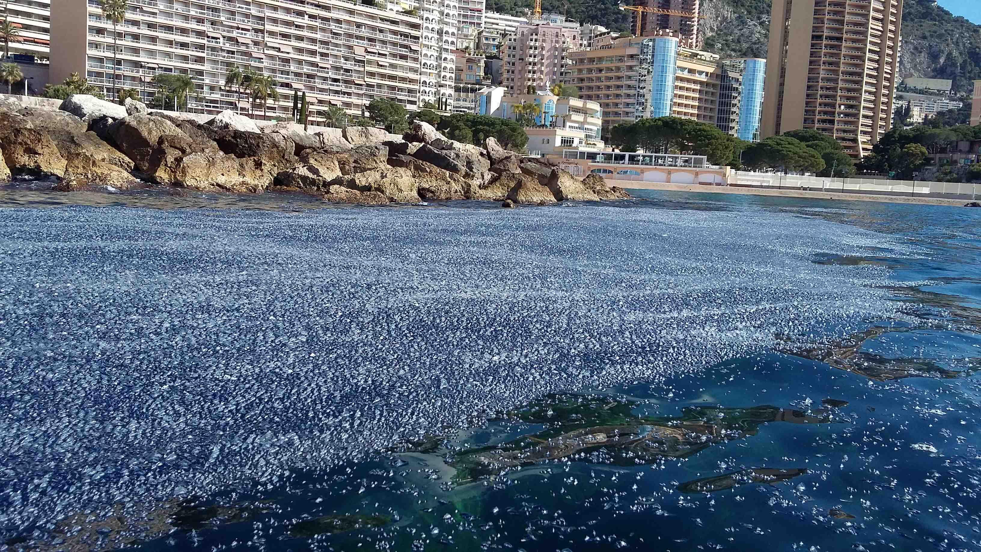 Медузы в Монако