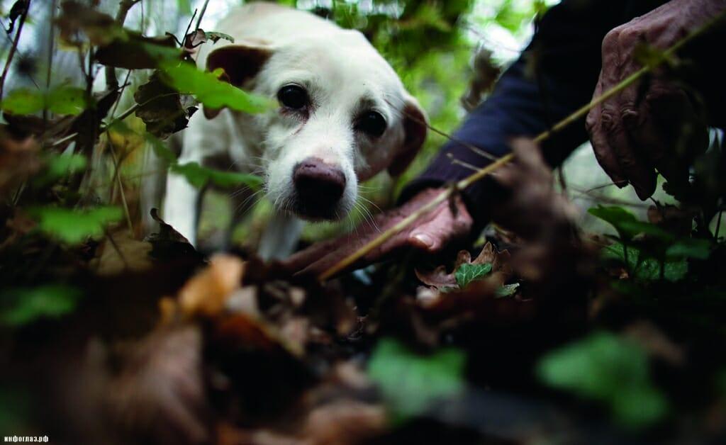 Охота на редкий белый трюфель
