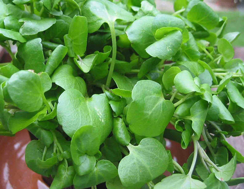 Будьте здоровы со Сьюзен Томассини: садовый хрен – суперпродукт от рака