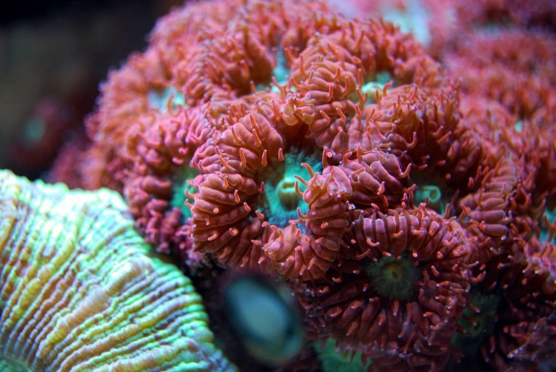 Новый эксперимент: в Монако исследуют редкий красный коралл